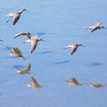 Stilt Sandpipers & Yellowlegs flying